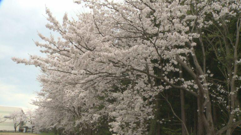 170417_桜の陣1