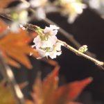 金谷山桜3