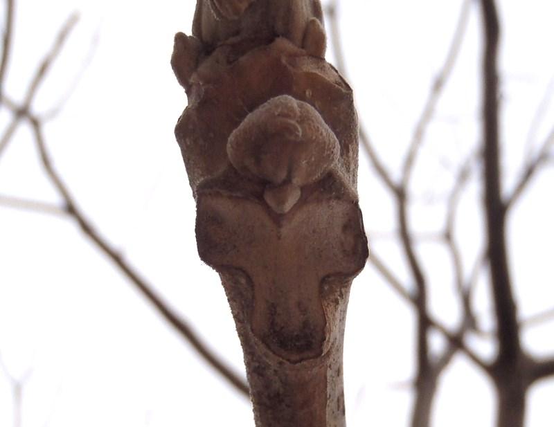 冬芽観察会(オニグルミの冬芽)