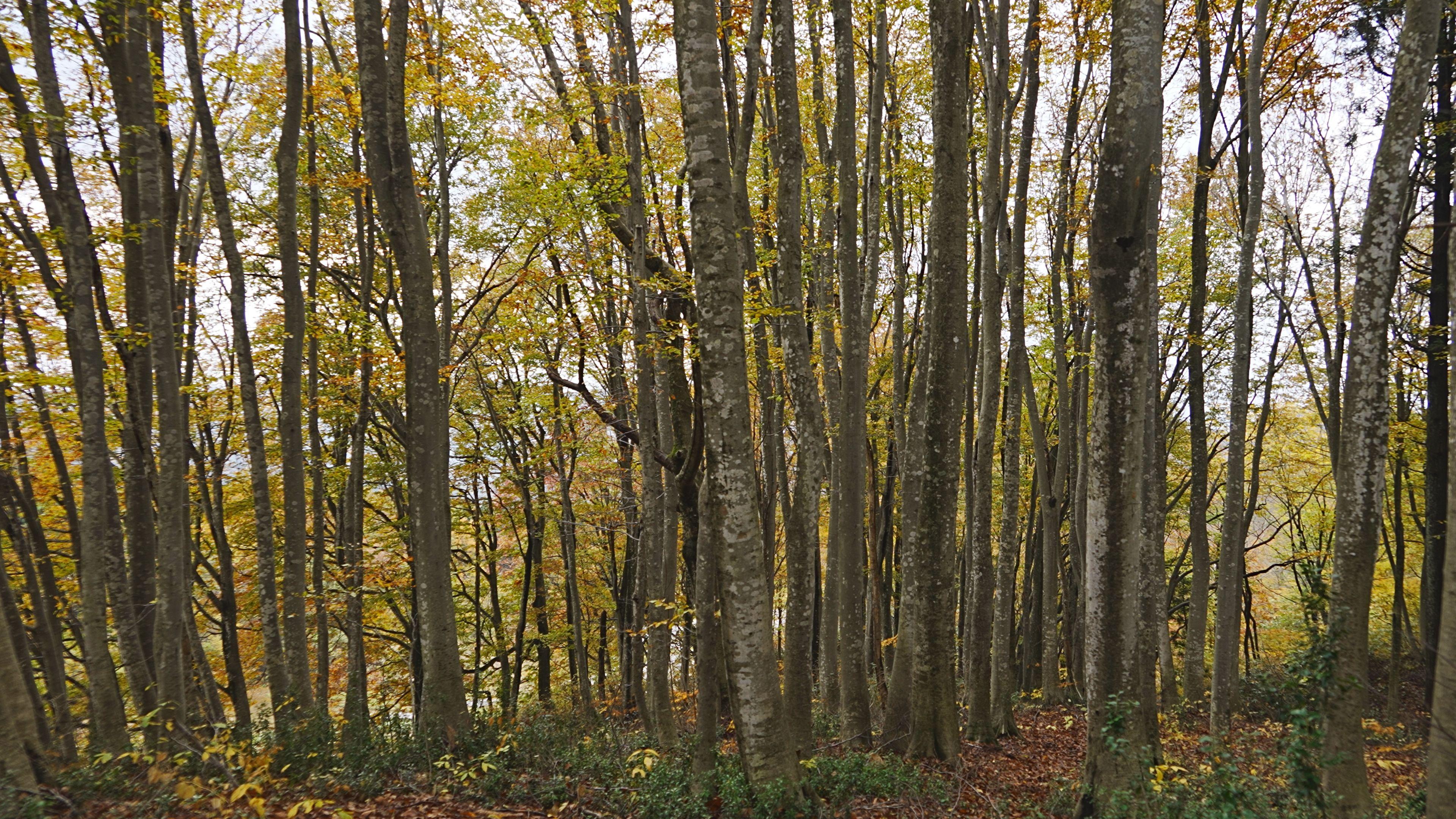 大島区ブナの森①