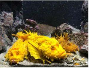 報道資料 マンスリー水槽 黄金色のオニオコゼ続出